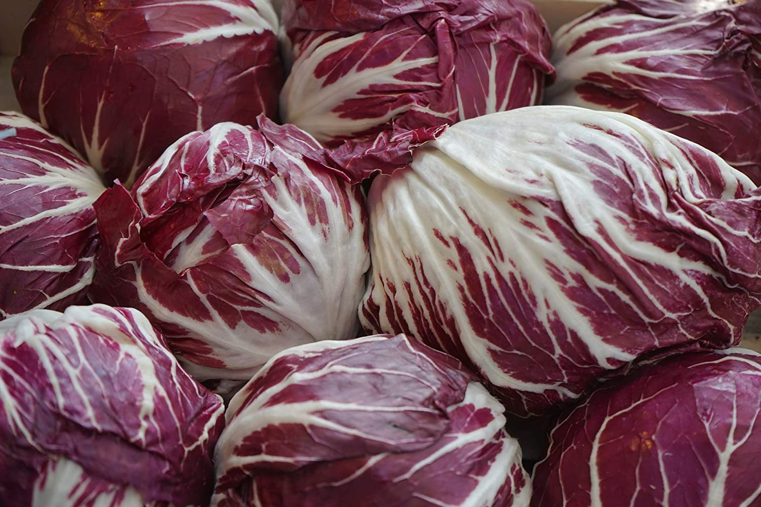 """Endive Seeds """"Red Treviso"""" - Multiple Harvest Green to Red Leaf Chicory 