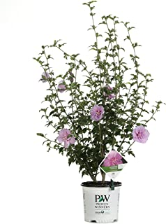 Lavender Chiffon (Hibiscus) Live Shrub, Light Purple Flowers, 1 Gallon