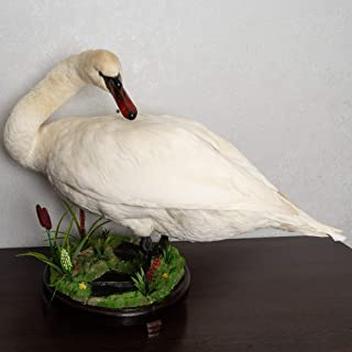White Mute SWAN Taxidermy Bird Mount - Waterfowl Mounted, Stuffed Birds for Sale - Real, Decor, LIFESIZE - ST5542