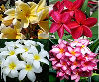 Plumeria (Frangipani) Hawaiian Plant Cuttings - 4 Pack Red, White,Yellow, Pink Cutting