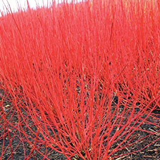 Red Twig Dogwood (Cornus) Starter Hedge Kit, Live Bareroot Shrubs, 12 to 18 inches Tall (10-Pack)