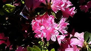 (1 Gallon) 'Gumpo Pink' Azalea, Light Pink Single Booms, Evergreen Shrub,Cold Hardy