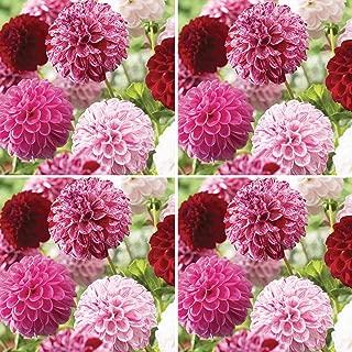 Burpee Pot Luck' Dahlia Cut Flower   2 Packs  , 2 Tubers