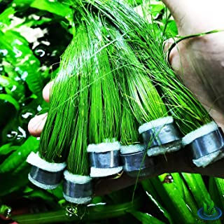 Greenpro Giant Hairgrass | Eleocharis Vivipara Package Freshwater Live Aquarium Plants Background Fish Tank Decoration