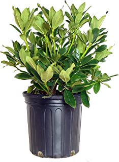 Rhododendron cat. 'Cunningham's White' (Rhododendron) Evergreen, white flowers, #2 - Size Container