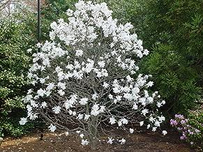 magnolia plant buy