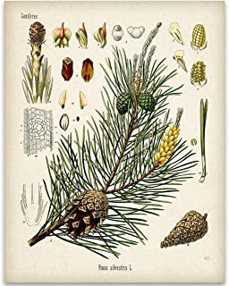 Pine Tree Botanical Illustration - 11x14 Unframed Art Print - Great Kitchen Home and Gift for Nature Lovers, Also Makes a Great Gift Under $15
