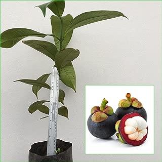 1 Mangosteen Tree Tropical Plant 20