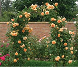 Rare ' Crown Princess Margareta' Orange Climbing Rose Shrub Seeds, Professional Pack, 50 Seeds / Pack, Cupped Fragrant Flowers