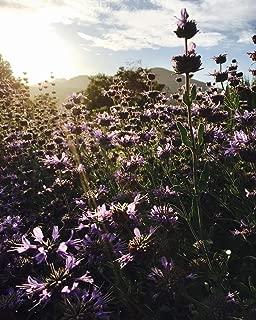 Purple Sage (Salvia leucophylla) Seeds (~50): Certified Organic, Open-Pollinated