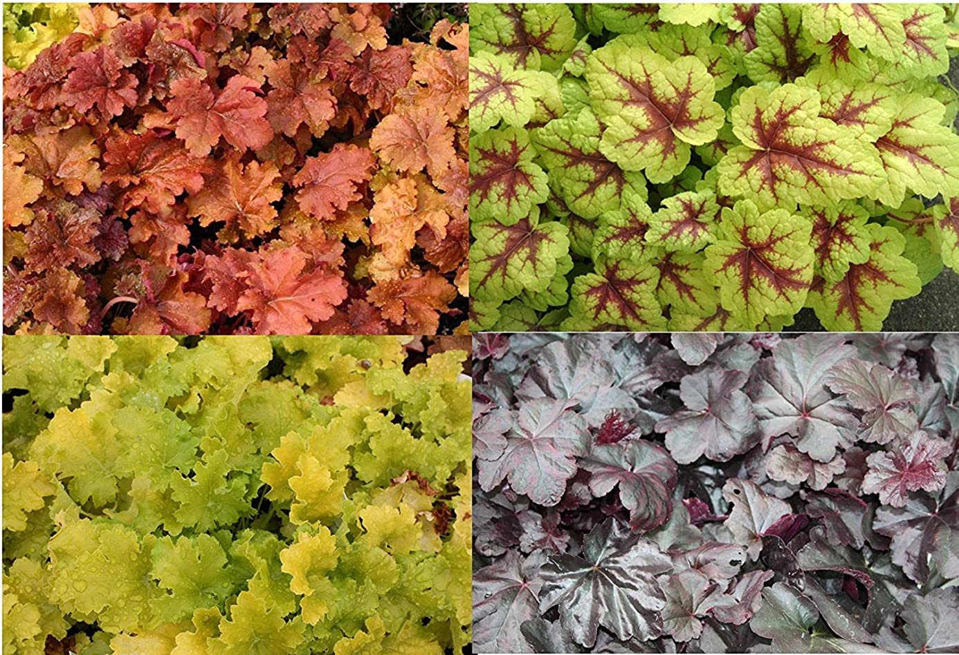 Heuchera 300 Seeds Mixed, Coral Bells Seeds - Year-Round Palette of Colours