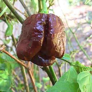 Byadagi Chilli Liveseeds 11 seeds