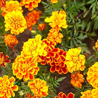 marigold bonanza mix