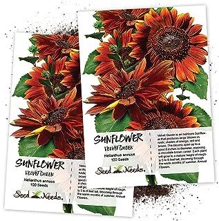 Seed Needs, Velvet Queen Sunflower (Helianthus annuus) 100 Seeds Non-GMO