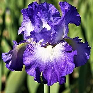 Purple Bearded Iris Bulbs - 10 Bulbs - Perennial Shiny Reblooming Garden Flowers Beautiful Decoration Potted Bonsai
