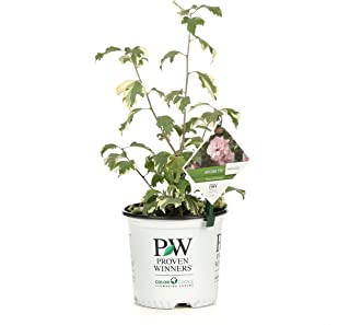 Sugar Tip Rose of Sharon (Hibiscus) Live Shrub, Light Pink Flowers and Variegated Foliage, 1 Gallon