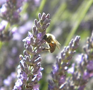 Lavender Herb Seed, Beautiful Fragrant Bush (Seed Count 5,000)