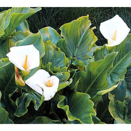 Rare 100 Pcs White Calla Lily Seeds Bonsai Potted Plant Perennial Flowers