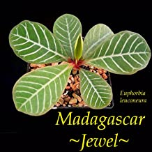 Best euphorbia leuconeura madagascar Reviews