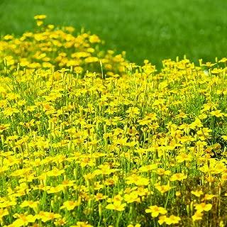 Marigold Golden Gem seeds - Tagetes tenuifolia