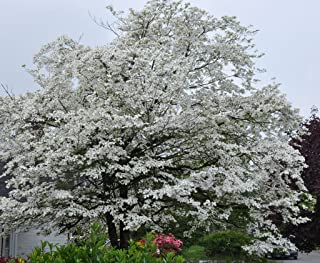 White Flowering Dogwood 10 seeds. trees, seeds