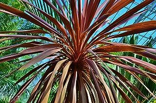 Temura 5 Seeds Cordyline Purple Cabbage Palm Perennial Evergreen Cordyline Australis purpurea
