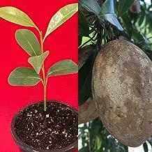 Best sapodilla fruit tree Reviews