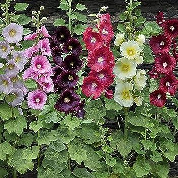 Home Garden Potted Plants Hollyhock Flower Seeds ILOE