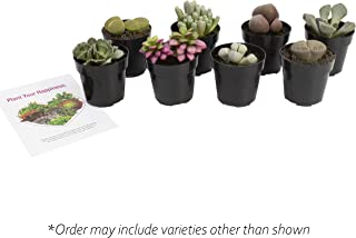 Altman Plants Assorted Live mini Mimicry Rock Succulents unique colorful lithops pleiospilos faucaria, 2.5