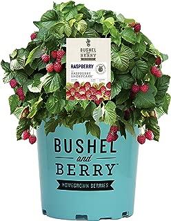 raspberry bush price