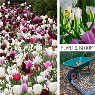 Plant & Bloom Tulip Flower Bulbs from Holland, 30 Bulbs - Tulip Mix - Easy to Grow - for Fall Planting - Blooms, Hummingbirds & Butterflies Landscape Garden Pink Shades - Top Dutch Quality Bulbs