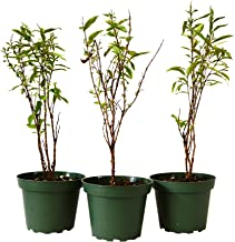 9Greenbox Dwarf Pomegrante Tree Container, 4 Pound (Pack of 3)
