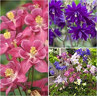 Mix Beautiful Flower Seeds Rare 50 Aquilegia Barlow Blue Columbine Seeds, 25 Seeds Aquilegia Winky Single Rose, 100 Aquilegia Biedemeier Columbine Seeds