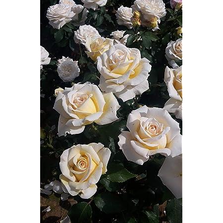 whyshare Rose mini hanging bush x 5 75cm cream