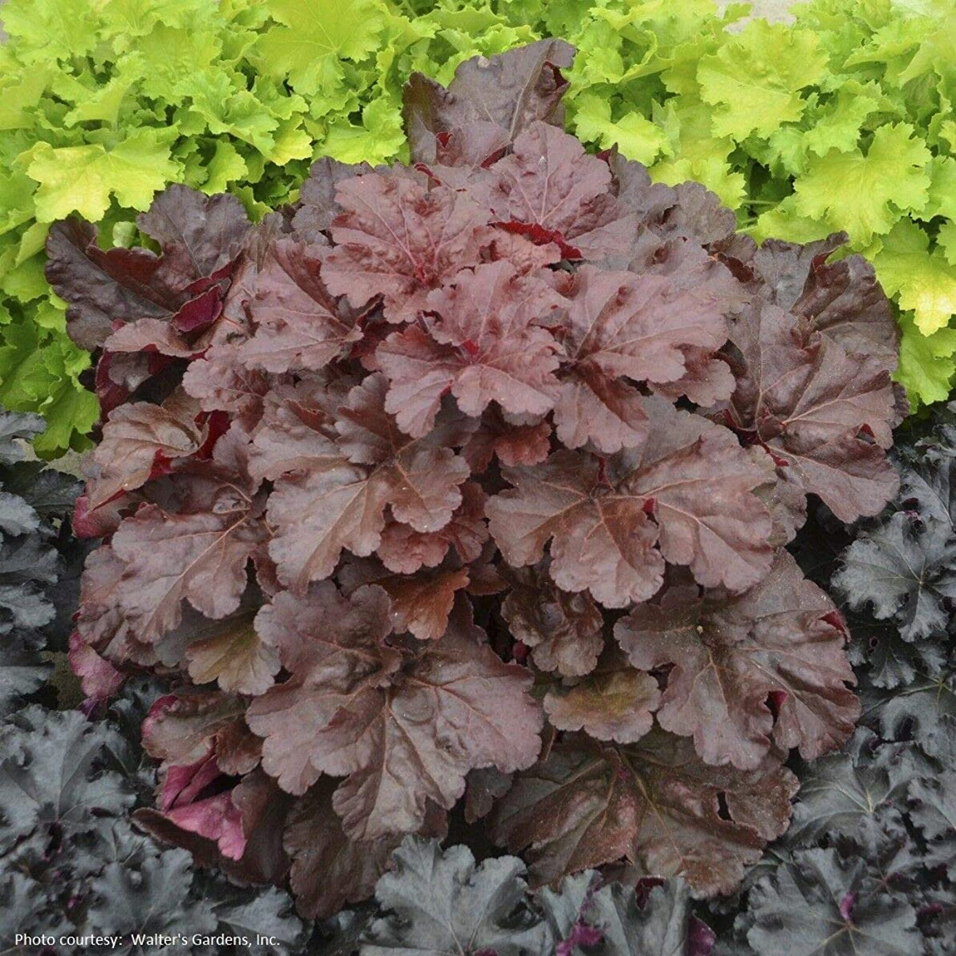 Details About heuchera Primo Mahogany Monster Coral Bells 2.5