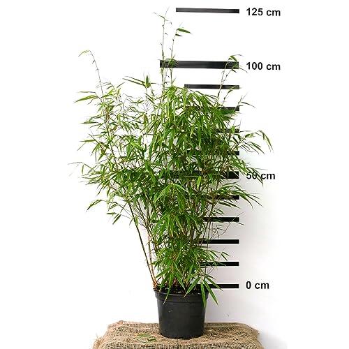 Bambus Pflanze Amazon De