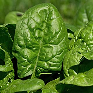 Giant Nobel Spinach Seeds - 1 Lb Seed Pouch - Heirloom, Non-GMO Gardening Seed - Slow Bolt Garden Spinach - Microgreens Seed