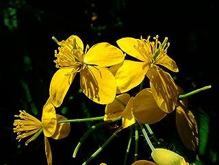 Asklepios-seeds® - 5000 Semillas de Chelidonium majus