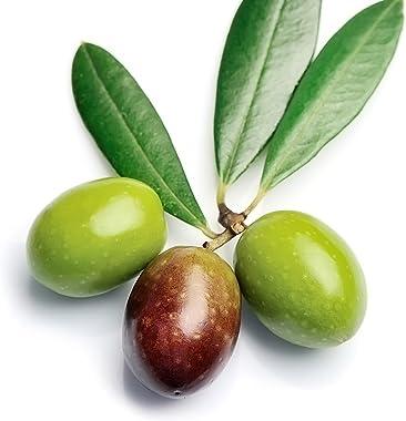 Manzanillo Olive Tree Live Plant - Olea europaea