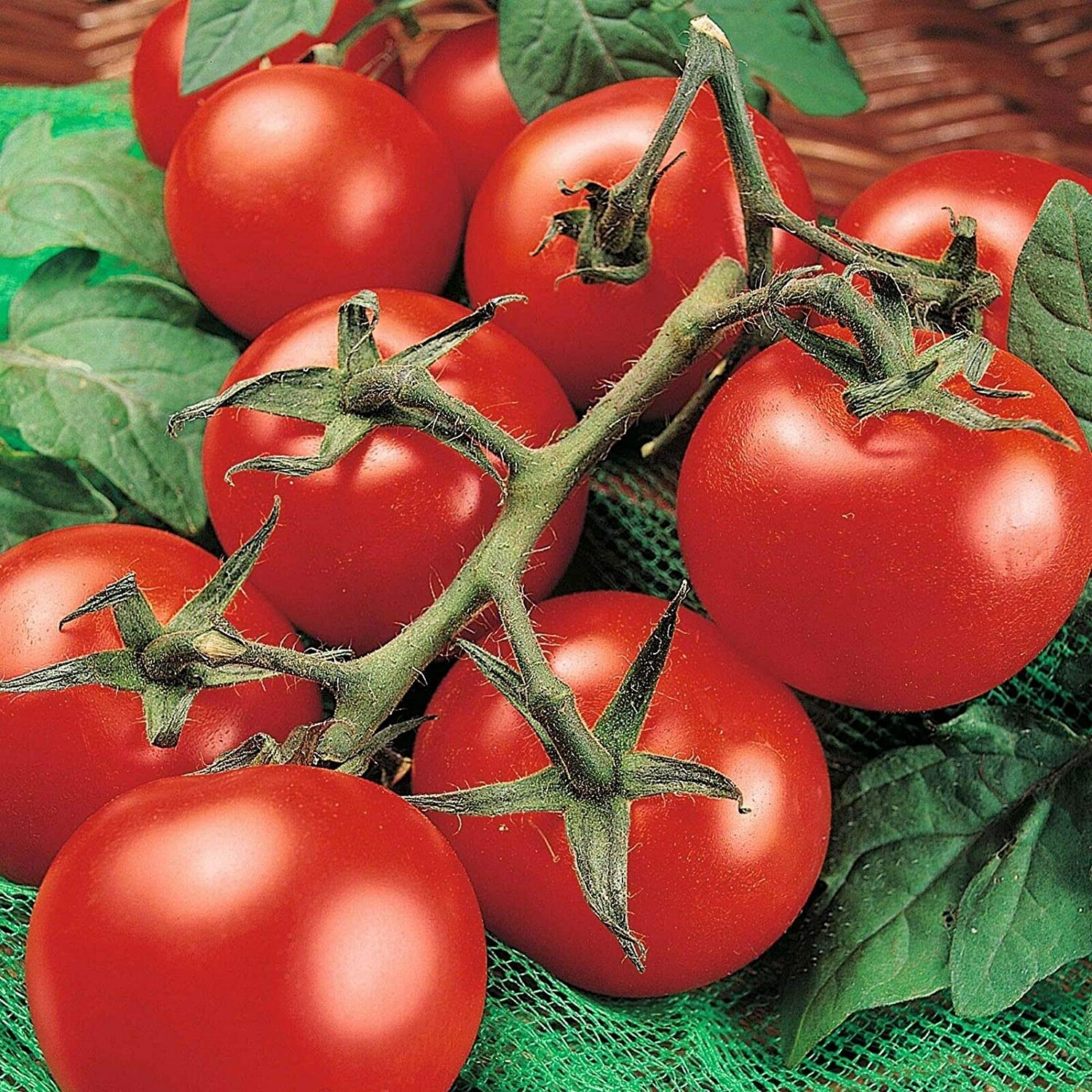 SmartMe - 1 2 Special Campaign oz Huge Moneymaker Heirloom Some reservation Ct Tomato