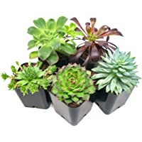 5 Pack Succulent Plants Fully Rooted in Planter Pots with Soil