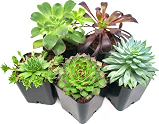 Succulent Plants (5 Pack), Fully Rooted in Planter Pots with Soil –  Real Live..