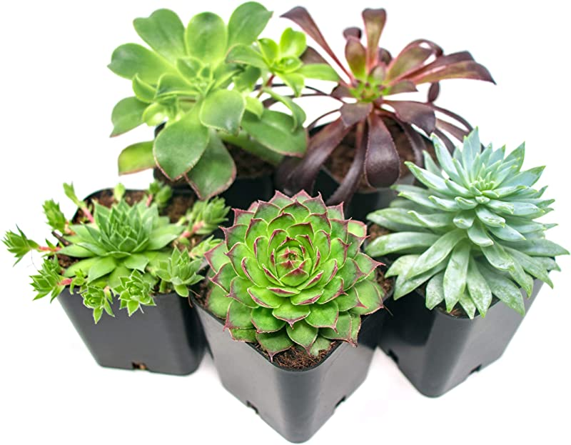 Succulent Plants 5 Pack Fully Rooted In Planter Pots With Soil Real Live Potted Succulents Unique Indoor Cactus Decor By Plants For Pets
