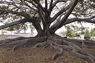 24 x 36 Giclee Print of Santa Barbara's Moreton Bay Fig Tree Located in Santa Barbara California is Believed to be The Largest Ficus macrophylla in The Country r34 41395 by Highsmith, Carol M.