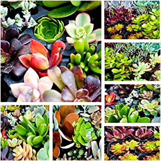 Shop Succulents | Assorted Collection of Live Succulent Cuttings, Hand Selected Variety Pack of Cut Succulents, All Cuttings are of Unique Varieties | Collection of 10