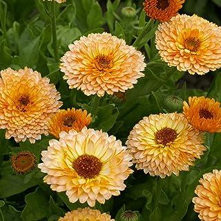 Scotch Marigold-English Marigold// F 50 Pcs Calendula  Officinalis Flower Seeds