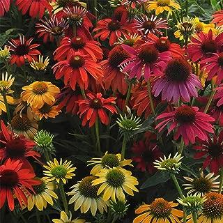 Cheyenne Spirit Echinacea Flower Garden Seeds (Purple Coneflower) - 100 Seeds - Perennial Flower Gardening Seed - Echinacea purpurea