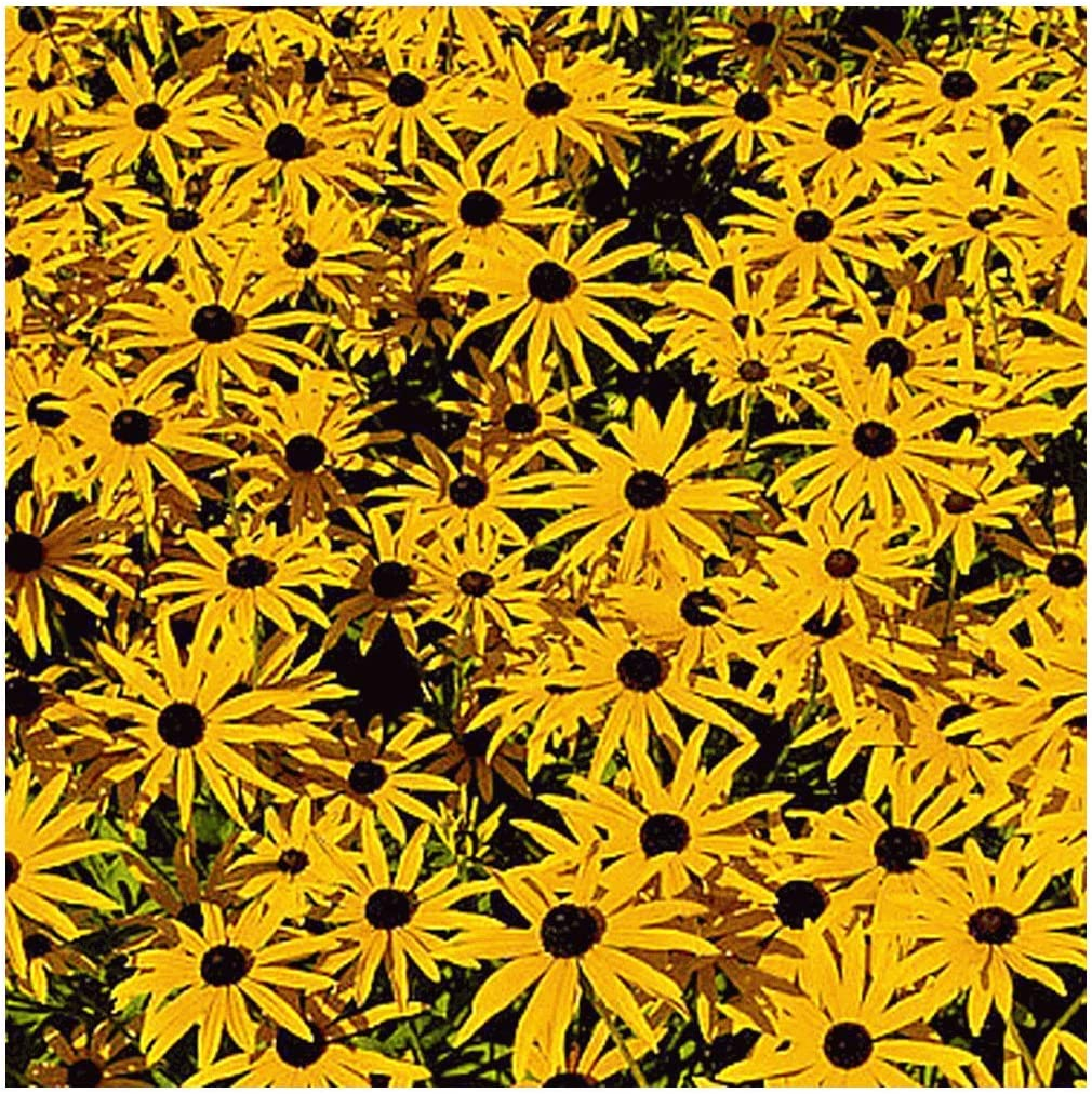 Everwilde Farms Spring Super-cheap new work - 1 4 Lb Wildflower Native Orange Coneflower See