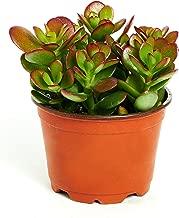 jade plant purchase
