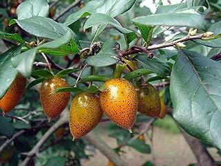 HOT - Diospyros rhombifolia Princess Persimmon Tree Seeds